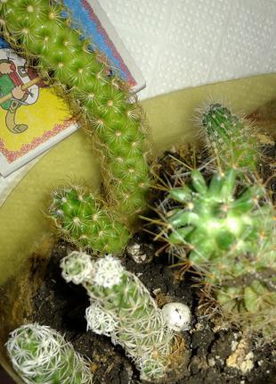 Набор кактусов для флорариума-эхинопсис и миммилярии