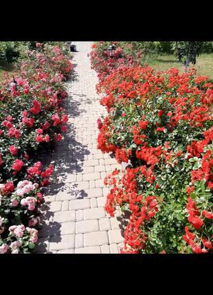 Саженцы розы почвопокровной