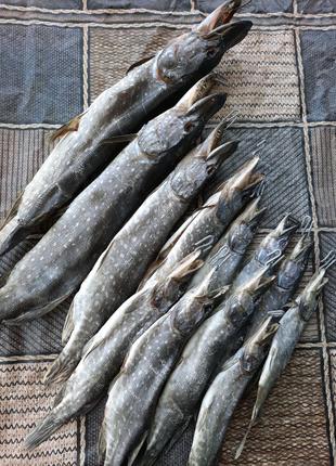 Таранка щука рыба