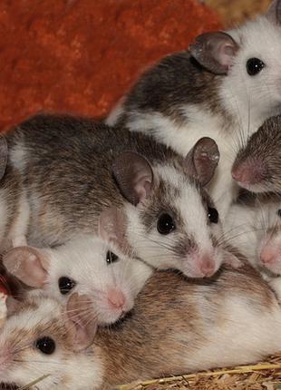 Кормовые крысята - Мастомис или Натальная крыса (Mastomys natalen