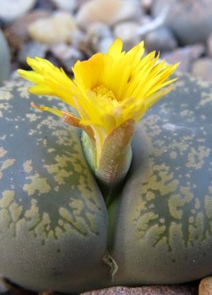 Цветок живые камни.литопс.литопсы