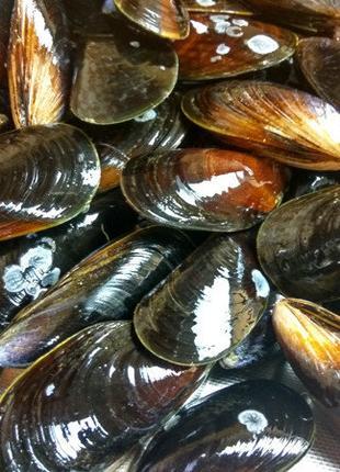 Мидии в ракушках живые черноморские крупные 6-9см.