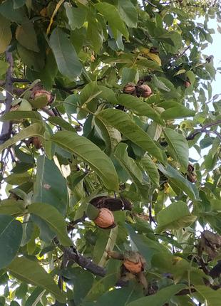 Качественные саженцы грецкого ореха