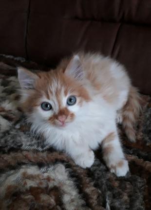 Котята  рыж с бел мальчик и рыженькая дев