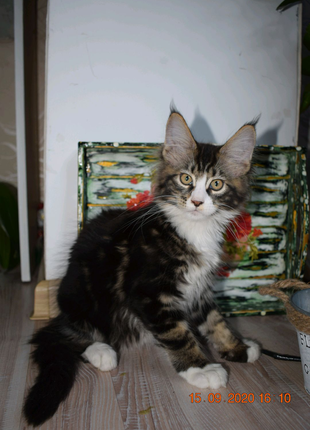 Котик Мейн-кун