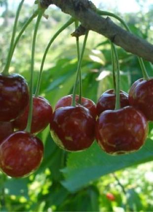 Саженцы вишни в ассортименте