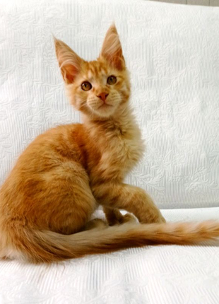 Котейки Мейн Кун.