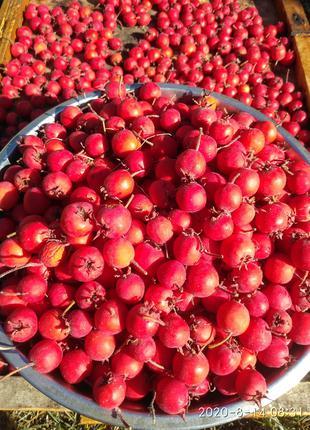 саженцы крупноплодного боярышника, глода 3-х летние