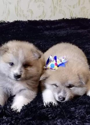 Идет продажа щенков Акита - ину
