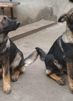 СРОЧНО !!!  ЦЕНУ СНИЖЕНО !!! Продам щенка немецкой овчарки