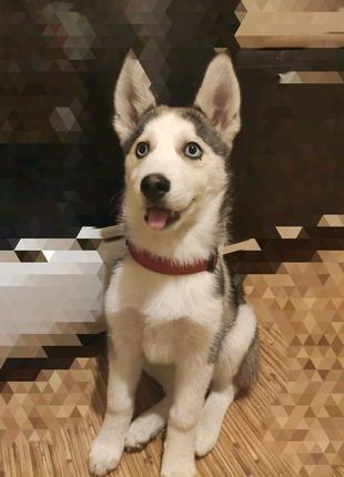 Шикарный щенок хаски
