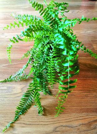 Нефролепис. Папоротник. (Nephrolepis cordifolia).