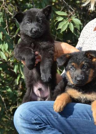 2 мальчика- черный и чепрачный,КСУ,доставку организуем по Украине