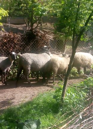 Продаю овечки