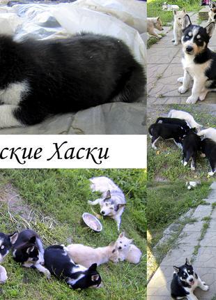 Сибирский хаски. Продажа клубных щенков