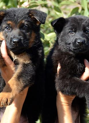 черные и чепрачные,щенки немецкой овчарки КСУ,видео,доставка