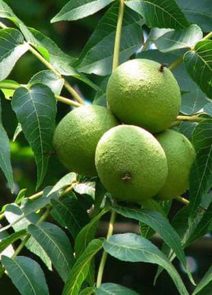 Черный орех / Чорний горіх / Плоды на посадку и настойку