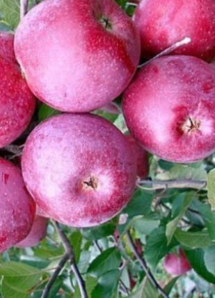 Салжанці плодових дерев