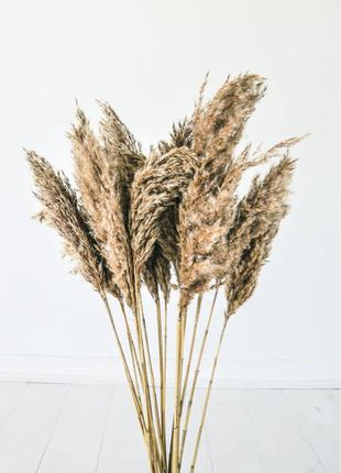 15шт кортадерія Пампасна трава