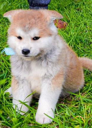 Готовы к продаже щенки Акита-Ину