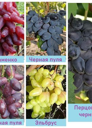 Корневые саженцы элитных столовых сортов винограда