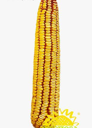 Семена кукурузы РАМ 8149 (ФАО 280)