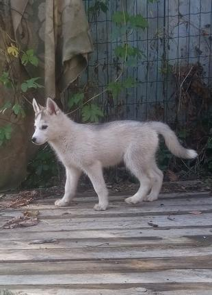 Девочка хаски, щенок сибирской хаски