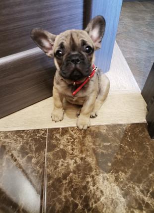 Продам щенка французького бульдожка.