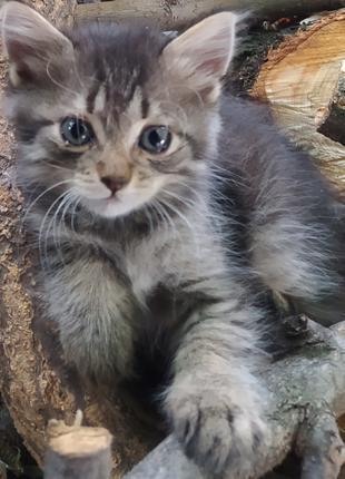 Котята с доставкой домой в любую точку Мелитополя.