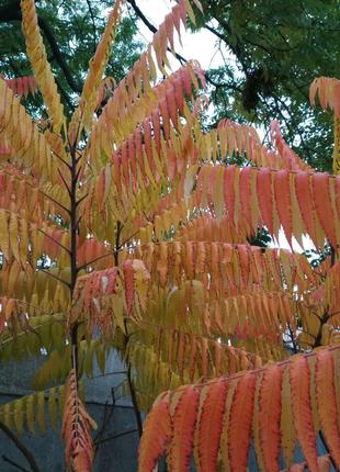 Сумах оленирогий суммах декоративное дерево