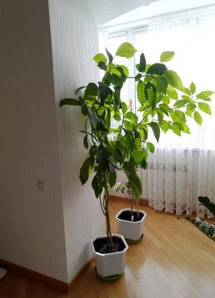 Дерево Авакадо