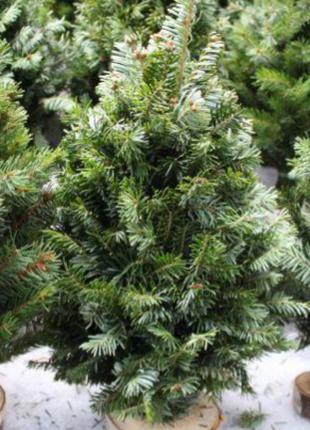 Новорічна ялинка, новогодняя ель