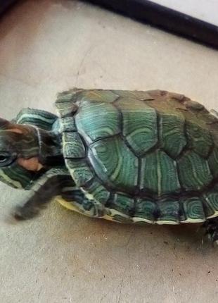 Красноухие черепахи - настоящие долгожители. Корм в подарок!