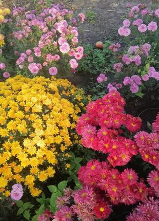 Хризантемы, айстри альпійські