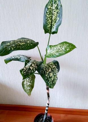 Дифенбахия. Комнатные растения