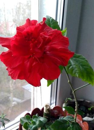 Китайская роза, Гибискус. Комнатные растения
