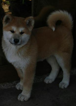 Готовые к продаже щенки Акита-ину