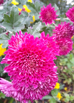 Продам хризантемы разных цветов и сроков цветения,