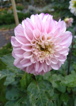 Продам клубни георгины розовой, сорт Пагода по 10 грн