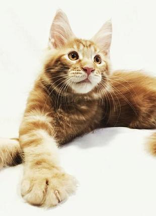 Крупные, очаровательные котята Мейн Кун