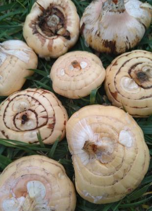 Продам луковицы гладиолусов по 2 грн штука, цвет оранжево-розовый