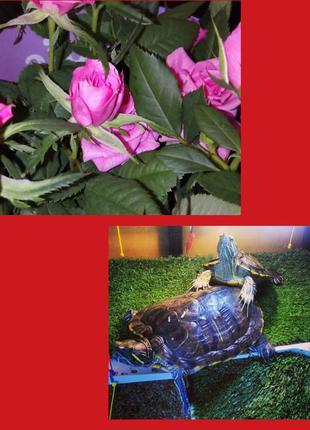 Красноухая черепаха 20-25см. Доставка по Украине.