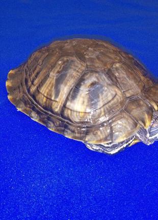 Шикарная американская красноухая черепаха. Доставка