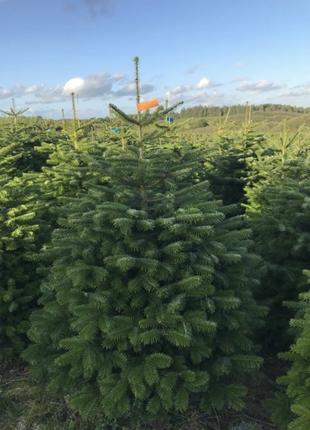 Пихта Нордмана, Датская елка оптом