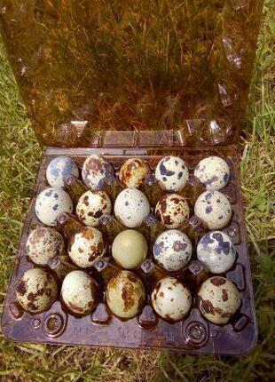 Перепелині яйця.