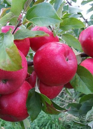 Огромный выбор саженцев яблонь от 64 грн!
