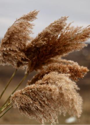 Пампасная трава  Декор букет  Сухоцветы Кортадерия Тростник