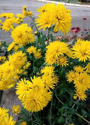 Продам хризантемы и другие садовые растения.