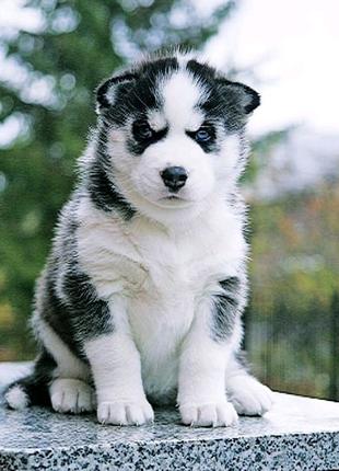 VIP щенки Сибирский ХАСКИ!