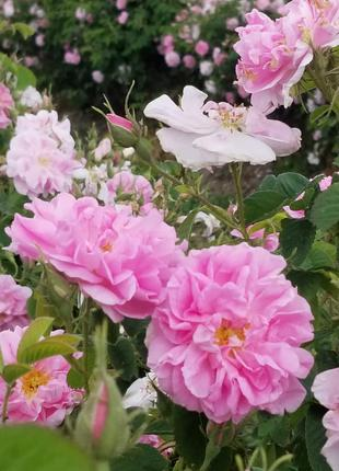 Роза эфиромасличная (роза ефіроолійна)  (лат. Rosa damascenа)